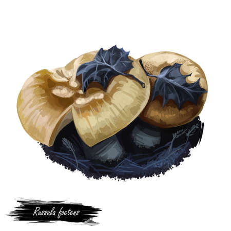 Russula foetens or stinking mushroom closeup digital art illustration. Boletus has honey yellow or ochre brown colored fruit body. Mushrooming season, plant of gathering plants growing in forest