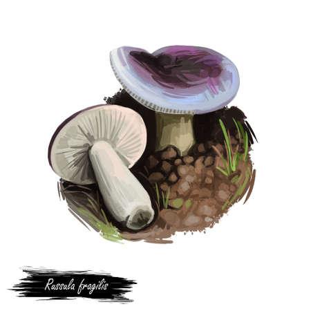 Russula fragilis or fragile brittlegill mushroom closeup digital art illustration. Boletus has dark purplish cap, with almost black centre. Mushrooming season, plants growing in woods and forests