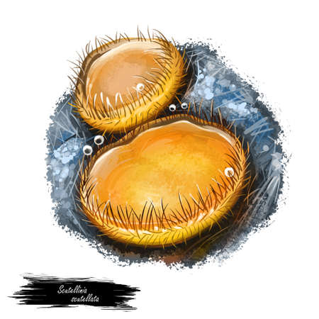 Scutellinia scutellata or Molly eye winker, scarlet elf cap or eyelash pixie cup mushroom closeup digital art illustration. Yellow boletus that has sphered shape of fruit body. Plants grows in forests