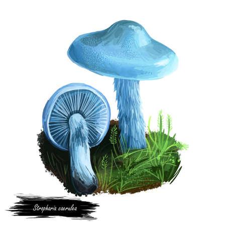 Stropharia caerulea or roundhead mushroom closeup digital art illustration. Boletus has blue cap sparsely covered in white flecks of veil at margin. Mushrooming season, plants growing in forests
