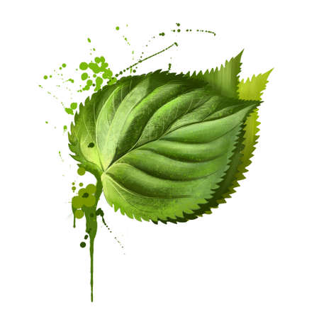 Perilla herb branch with leaves isolated on white. Spicy herbs. Doodle cooking ingredient for design. Seasoning. Watercolor. Perilla is a herb of the mint family, Lamiaceae. Frutescens. Digital art