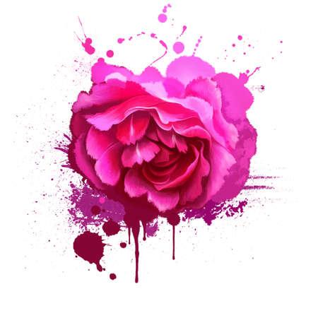 Pink rose isolated on white. Floral background. Romantic wallpapers. Wallpaper design. Family Rosaceae. Elegantsummer flower. Fashionable plant. Greeting card design. Postcard with splashes Reklamní fotografie