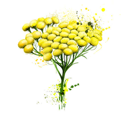 Tansy tanacetum vulgare bitter buttons with brush splashes. Cow bitter, or golden buttons. Botanical watercolor llustration Wallpaper greeting card design. Clip art digital art illustration print