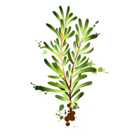 Rosemary branch and flowers. Rosmarinus officinalis. Woody, perennial herb with fragrant, evergreen, needle-like leaves and pink, purple, blue flowers. Member of the mint family Lamiaceae