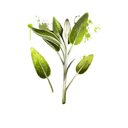 Sage bunch hand drawn. Realistic sage leaves isolated on white. Herbal engraved style illustration. Detailed organic product sketch. Cooking spicy ingredient. Herbs and spices. Digital art. Reklamní fotografie