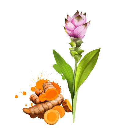 Curcuma flower, root and powder isolated on white. Turmeric Curcuma longa rhizomatous herbaceous perennial plant of ginger family. Gathered for rhizomes. Herbs and spices collection. Digital art. Reklamní fotografie