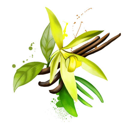 Vanilla pods and orchid flowers isolated on white background. Vanilla flavoring derived from orchids. Used in culinary and medicinal. Flat-leaved vanilla. Herbs and spices collection. Digital art.