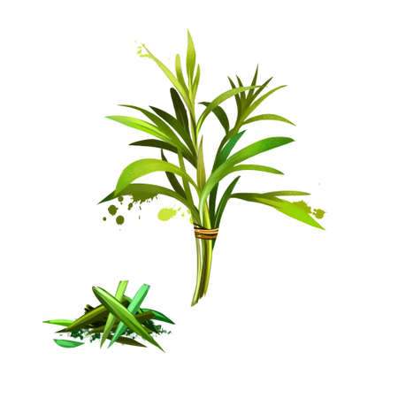 Tarragon Artemisia dracunculus Isolated on white background. Estragon. Cultivated for culinary and medicinal purposes. Fresh and dried tarragon. Herbs and spices collection. Digital art image