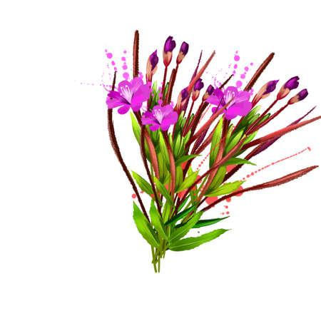 Willowherb epilobium flower plant isolated on white. Dry fermented tea of fireweed Chamerion angustifolium. Rosebay willowherb. Traditional Russian Koporye Tea. Useful herbal tea. Digital art Reklamní fotografie