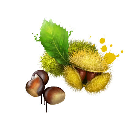 American Chestnuts with leaves and spiny burrs. Chestnuts are edible raw or roasted. Considered the finest chestnut tree in the world. Fruits of world collection. Digital art watercolor illustration