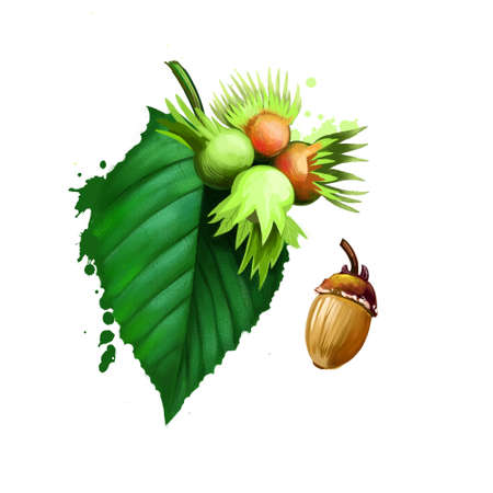 Acorn and corylus americana, the American Hazelnut, is a species of deciduous plant that grows in the form a shrub. Forest nuts hazelnuts isolated on white background. Leaf and nuts. Digital art