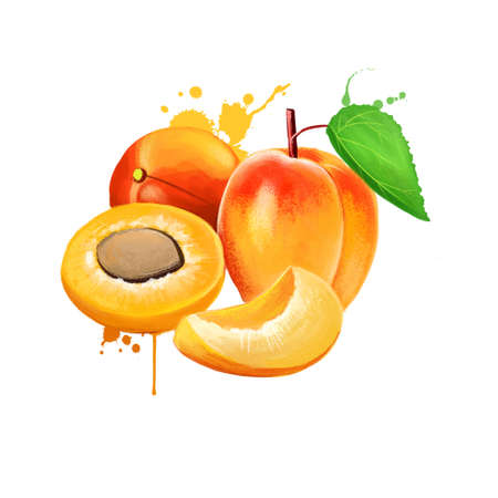 Fresh apricot fruits isolated on white background. Half of apricot, slice, leaf. Fruits of the world collection. Digital art illustration, peach whole and cut half, with green leaf, healthy food