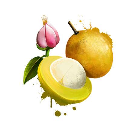 Amazonic traditional fruit bacuri. Platonia insignis, the sole species of the genus Platonia. Bacuri, maniballi, naranjillo and bacurizeiro. Fruits of the world collection. Digital art illustration