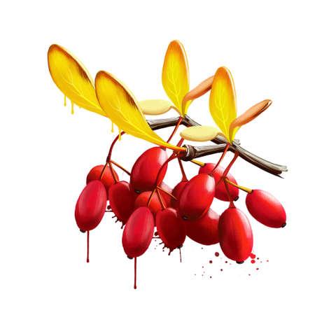 Barberry or Berberis isolated. Large genus of deciduous and evergreen shrubs. European or American barberry, Berberis vulgaris. Edible berries, rich in vitamin C, with sharp acid flavor. Digital art