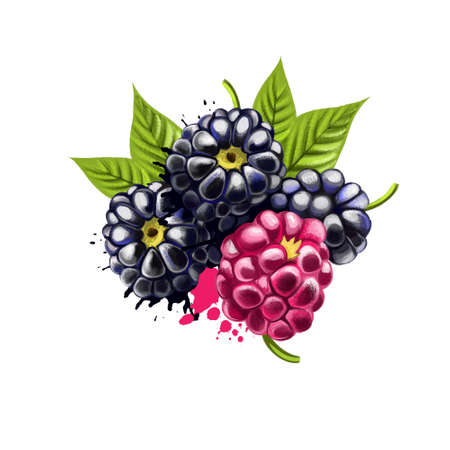 Blackberries isolated on white background. Blackberry is an edible fruit produced by many species in the Rubus genus in the Rosaceae family. Used for culinary purposes. Fruits collection. Digital art Reklamní fotografie