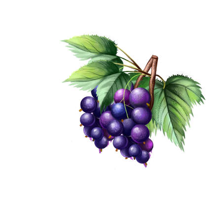 Blackcurrant isolated on white. Blackcurrant Ribes nigrum is a woody shrub in family Grossulariaceae grown for piquant berries. Used for culinary purposes. Fruits collection. Digital art Reklamní fotografie