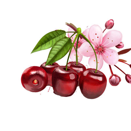 Cherry fruit and blossom isolated on white background. Wild cherry. Ornamental cherry. Sakura blossom. Used for culinary purposes. Red cherry with leaves. Fruits collection. Digital art