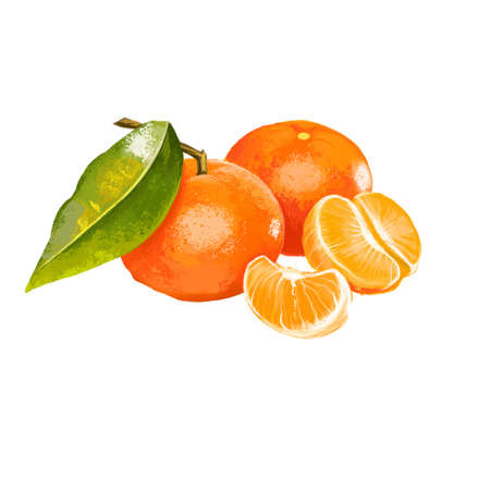 Clementine isolated on white. Clementine Citrus clementina is a hybrid between a Mediterranean Citrus deliciosa and sweet orange. Orange juicy tangerine. Fruits collection. Digital art illustration Reklamní fotografie