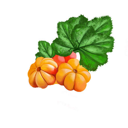 Cloudberry isolated on white. Rubus chamaemorus is rhizomatous herb. Amber-colored edible fruit. Cloudberry, bakeapple, knotberry, knoutberry, aqpik or low-bush salmonberry, averin or evron