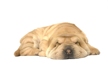 A young sharpei pup sleeping on the studio floor