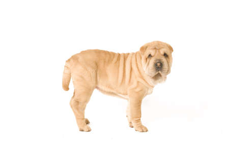 A young sharpei pup standing on the studio floor Stock Photo