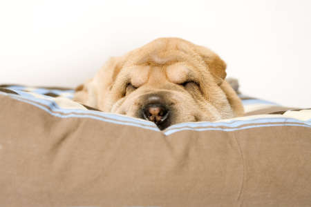 A young sharpei puppy sleeping on it's pillow Stock Photo - 913860