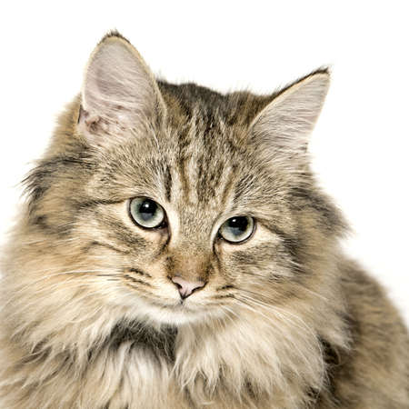 Studio portrait of a cuted mixed breed long haired kitten