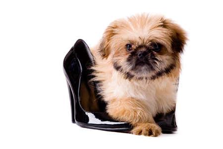pekingese: Cute little pekingese dog isolated on white  Stock Photo