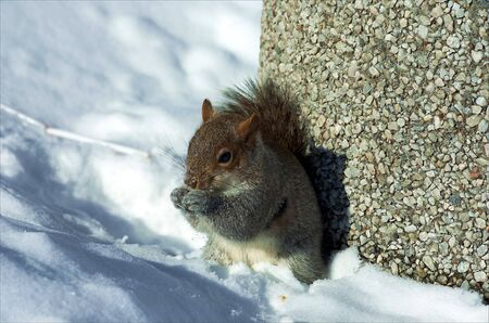 A very cold Squirrel, shot in a park in Canada photo