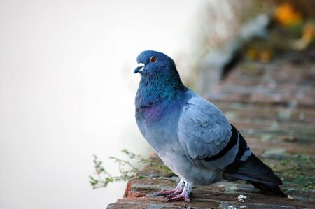 pidgeon: A very fat, but beautifully coloured pidgeion Stock Photo
