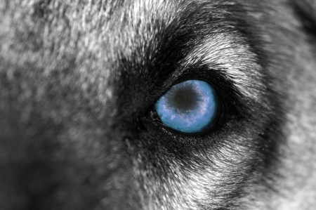 fierce: A close-up photo of a menacing Wolf with Blue eye Stock Photo