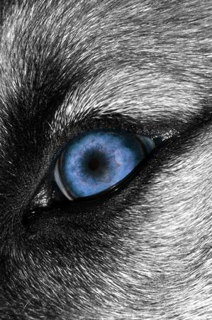 evil eyes: A close-up photo of a menacing Blue Wolf eye Stock Photo