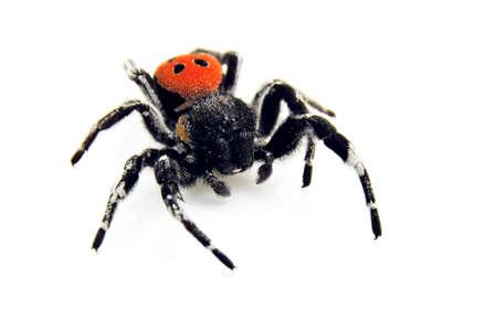 An isolated image of a Ladybird spider (Eresus cinnaberinus) Stock Photo