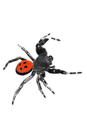 arachnophobia animal bite: An isolated image of a Ladybird spider (Eresus cinnaberinus) Stock Photo