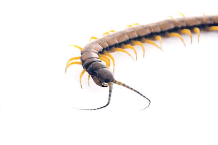 segmented bodies: An isolated to white image of a Centipede curving towards you