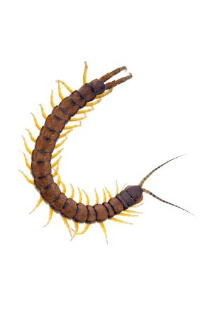 segmented bodies: An isolated to white image of a Centipede in the shape of a letter C