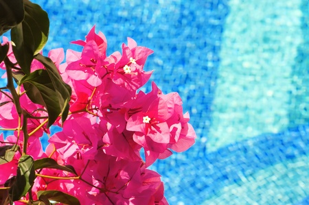 bougainvillea flowers: A photo of bougainvillea flowers against the blue of a swimming pool