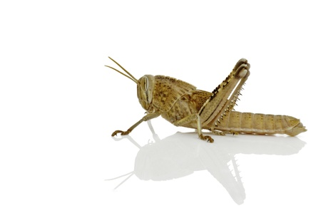 locust: A grasshopper on a shiny white background casting a soft shadow Stock Photo