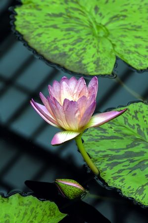 A Pink Water lily on a local lake photo