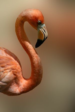tacky: A Mexican Flamingo with a shallow depth of field