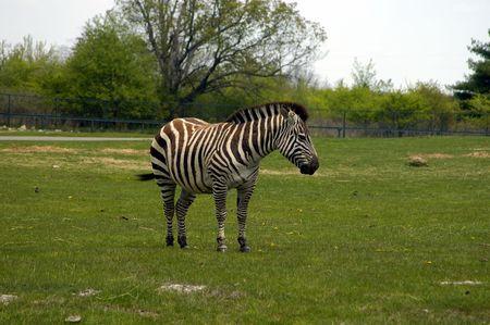 A wild zebra gazing grass on a zoo