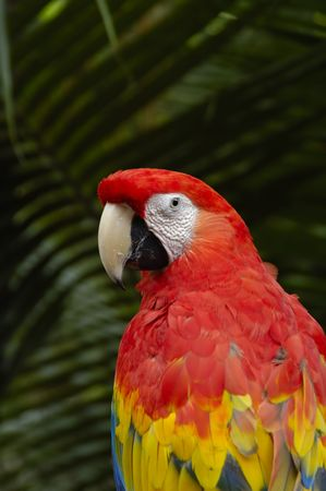 Solitary macaw on a natural green background photo
