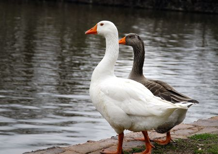 Two ducks inspecting the water and ready to take a plunge photo