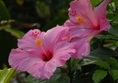 rosemallow: Pink Hibiscus flower on a bright sunny day Stock Photo
