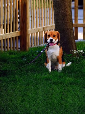 eagerly: A faithful dog eagerly waiting for the masters words Stock Photo