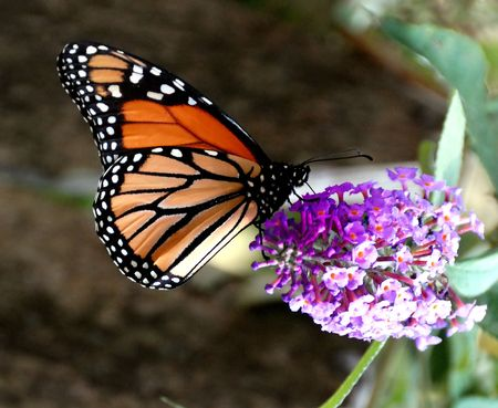 A beautiful monarch butterfly enjoying its lunch on a flower photo