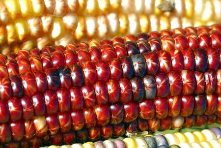 Freshly harvested Indian corn arranged for sale at a local market photo