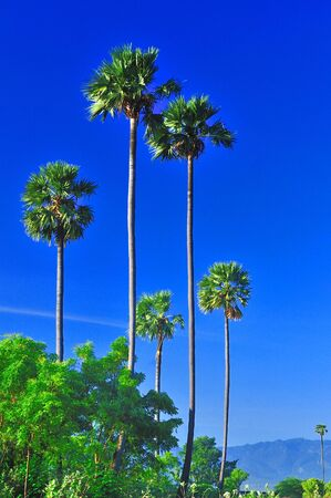 Tall Palm Trees on a bright sunny day Stock Photo - 3951087