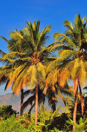 Tall Palm Trees on a bright sunny day Stock Photo - 3951099