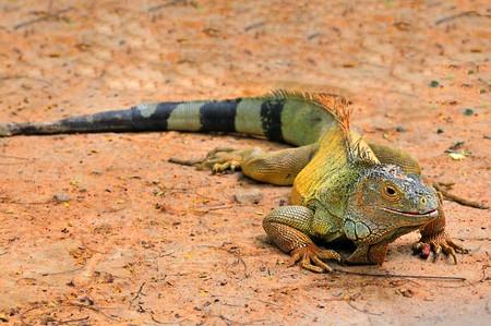 Headshot of a beautiful iguana at a local zoo Stock Photo - 3951075